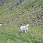 Fun fact, there are 500,000 sheep in Iceland and 330,000 humans.