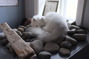 An Arctic Fox with its white winter coat.