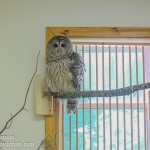 This lovely barred owl named Sophia is an educational bird at Tamarack Wildlife Rehabilitation Center.